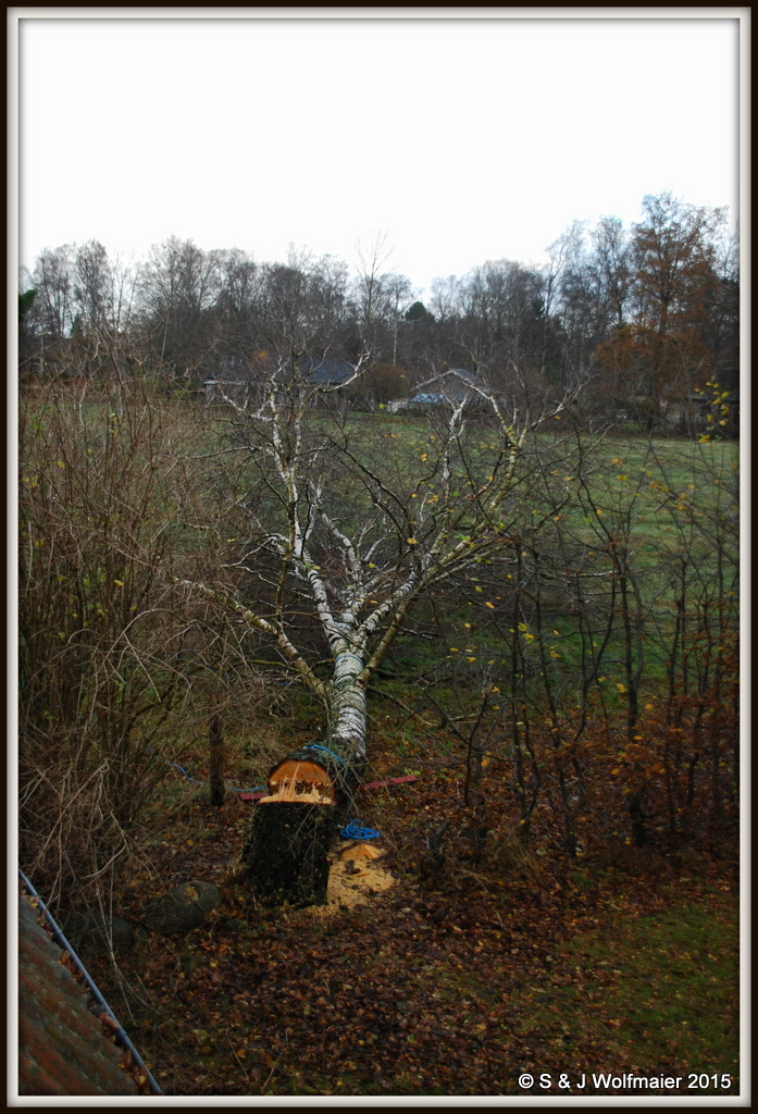 Felled Birch